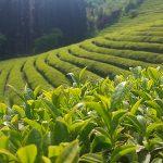 800px-Boseong_Green_Tea_Field_in_summer_2017